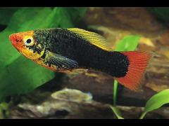 "Xiphophorus variatus ""Negro cola roja"""