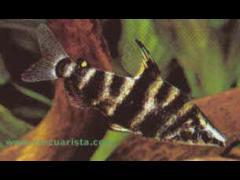 """Abramites hypselonotus (""""Yiki"""")"""