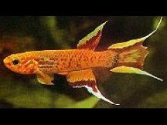 Aphyosemion australe macho