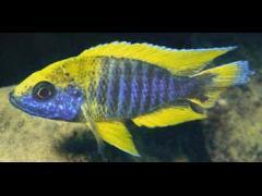 Aulonocara jacobfreibergi - Undu Reef, Foto copy Ad Coning