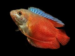 Trichogaster lalius, variedad roja