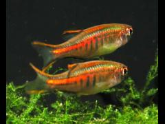 Familia Cyprinidae