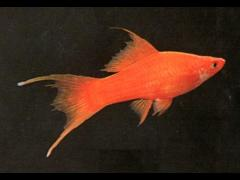 Xiphophorus helleri (cola lira)