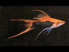 Xiphophorus helleri tuxedo lira