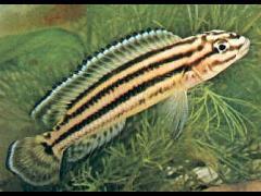 Julidochromis regani regani