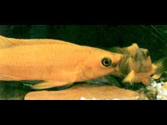 Neolamprologus leleupi - Exceso de celo en el cuidado del lugar elegido para desovar.