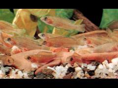 Neolamprologus leleupi - Alevines de 30 días.