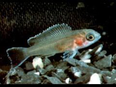 Neolamprologus brichardi - Alevino de 15 días