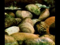 Neolamprologus brichardi - Los huevos camuflados entre el sustrato