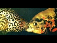 Típica riña entre machos (izquierda Parachromis managuensis)