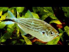 Triporteus angulatus