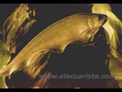 Xenomystus nigri - Pez cuchillo africano