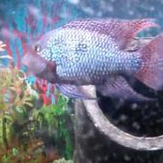 Geophagus Brasiliensis Pearl Cichlid, fish tank2