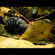 North & Central American Cichlids in the Display Aquarium, Archocentrus centrarchus (episode 4)