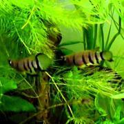 My african tank (killi + Enigmatochromis )