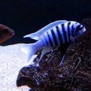 Maylandia zebra chilumba Maison Reef