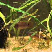 Cortejo Taterudina ocealicauda