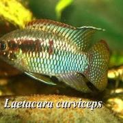 Der Tüpfelbuntbarsch Laetacara curviceps